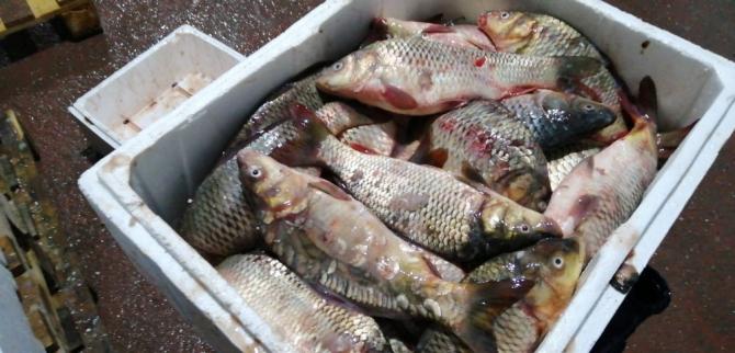 Kayseri'de kaçak ve sağlıksız depolanan 15 ton balık imha edildi