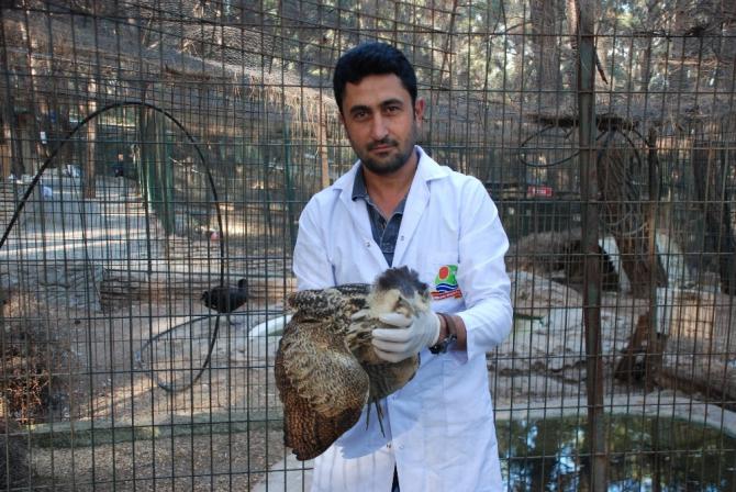 Yaralı olarak bulunan Balaban kuşu tedavi altına alındı