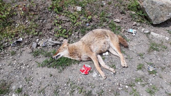 Artvin'de şüpheli tilki ölümleri