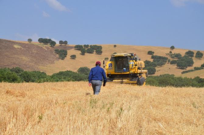 Kurtalan'da buğday hasat dönemi başladı