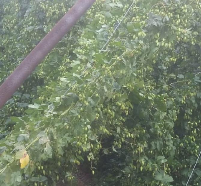 Pazaryeri'ndeki sağanak yağış tarım arazilerini vurdu