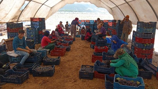 Şifa kaynağı kuru üzümün yapımına başlandı