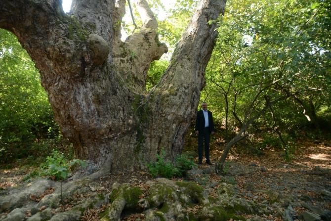 Bursa'da bin 100 yıllık çınar ağacı bulundu