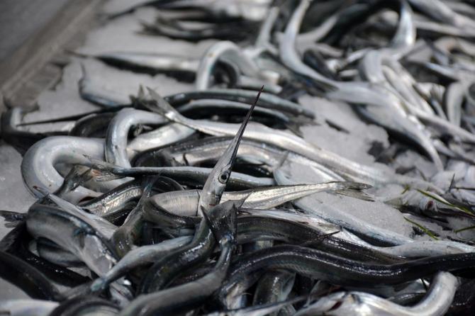 Karadeniz'de zargana balıkçıların yüzünü güldürdü