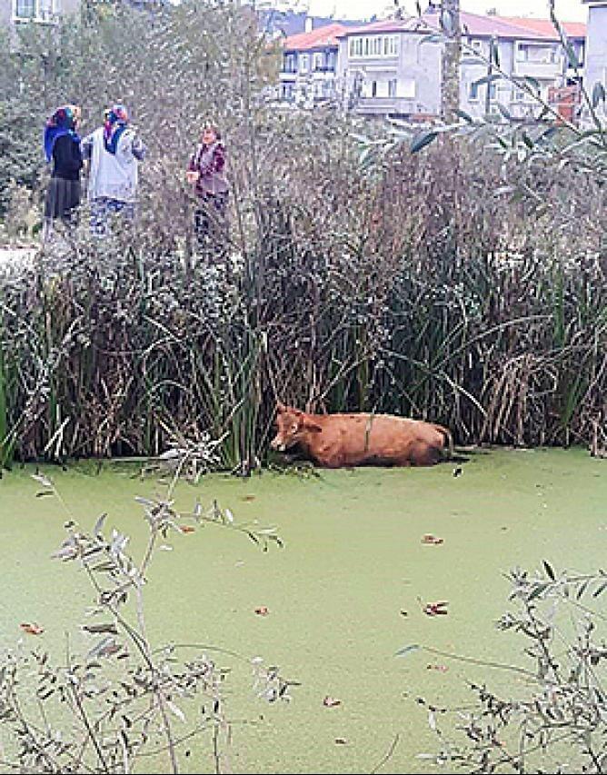 Kanala düşen ineği itfaiye ekipleri kurtardı