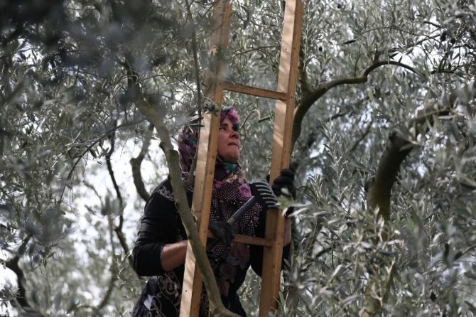 Bursa'da zeytin hasadı başladı