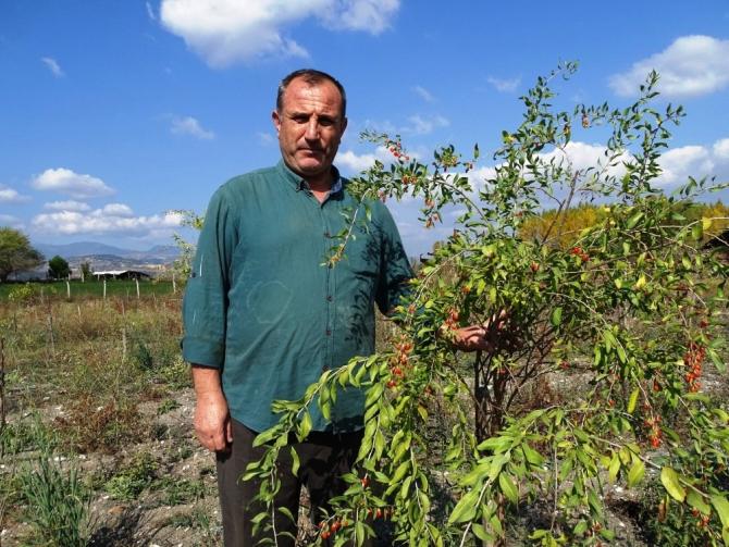 Kiraladıkları 10 dönüm arazide 'Goji Berry' meyvesi yetiştiriciliğine başladılar