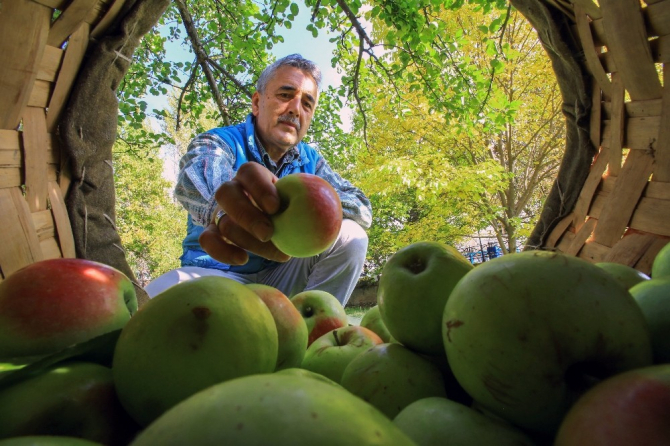 Bu elma sadece Gümüşhane'de yetişiyor