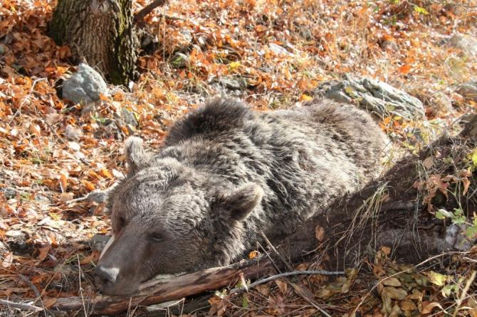 boz ayıyı vurdular ile ilgili görsel sonucu