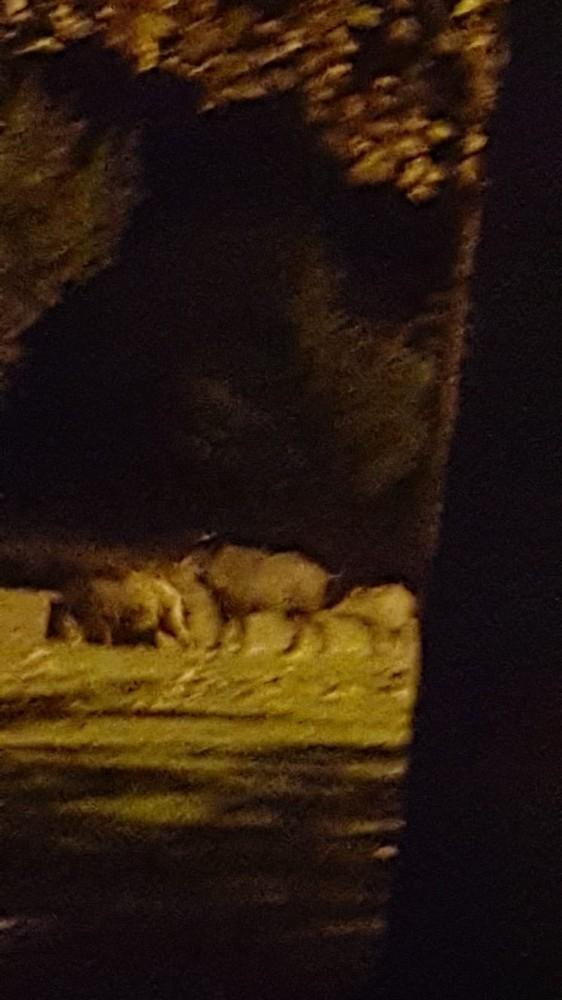 Isparta'da domuzlar mesireliğe indi