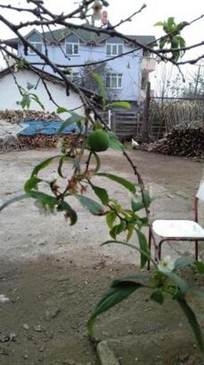 Sakarya'da erik ağacı Kasım ayında meyve verdi