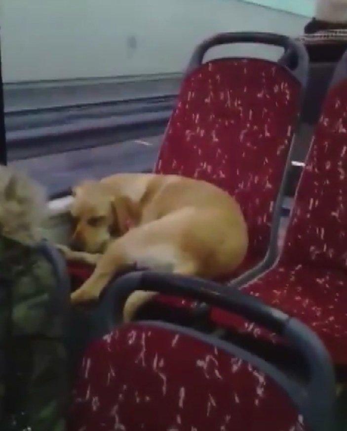 Kalpler erisin... Otobüs şoförü üşümesin diye köpeği yanına aldı, koltukta uyuyakaldı