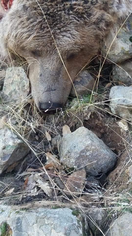 Tunceli'de boz ayı ve su samuru telef oldu