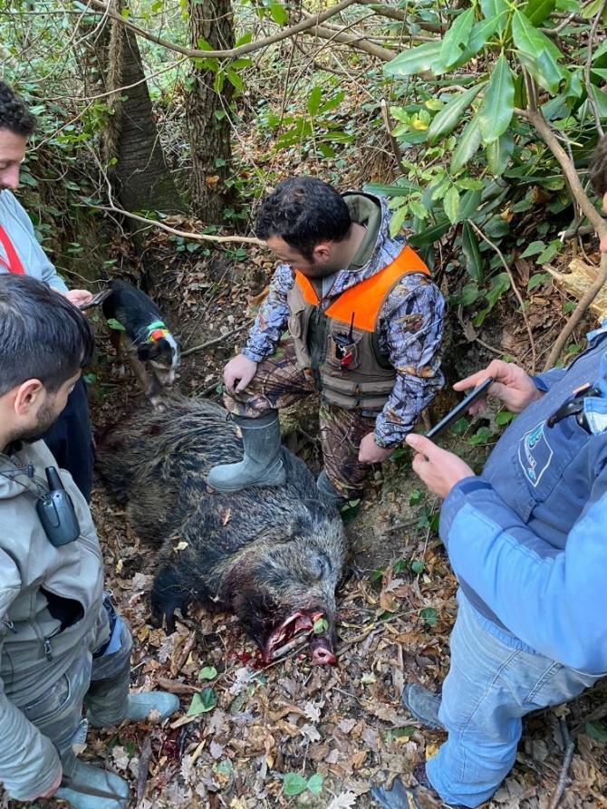 Türkeli'de 350 kiloluk domuz avlandı