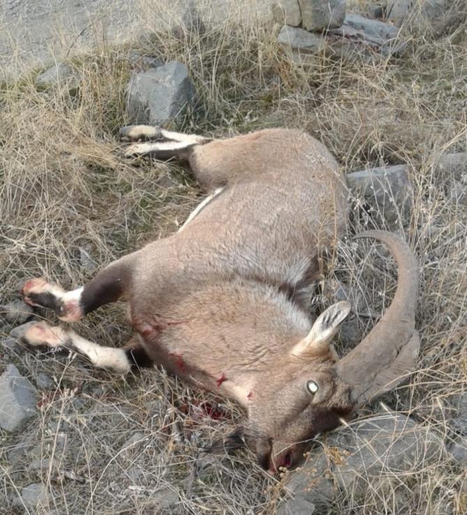 Tunceli'de kaçak avcılar, dağ keçisini telef etti