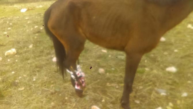 Ayağı kırılan at acılar içinde ölüme terk edildi