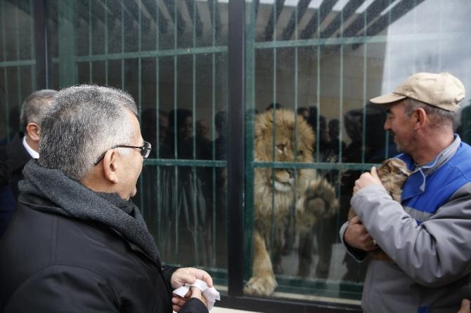 Yavru aslanların ismini vatandaşlar belirleyecek