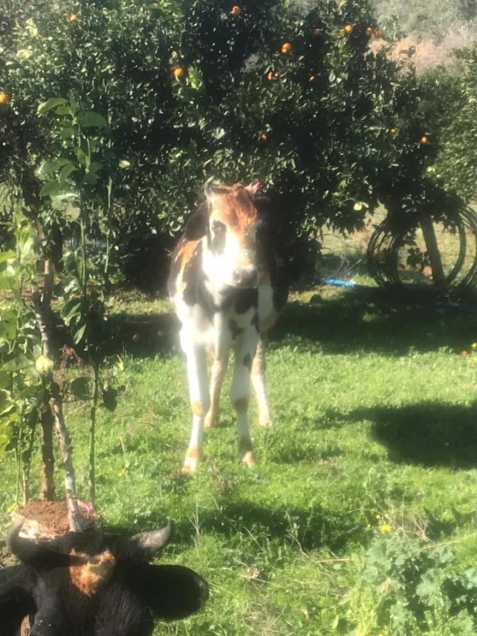 Ahırdaki inekler yanmaktan son anda kurtarıldı