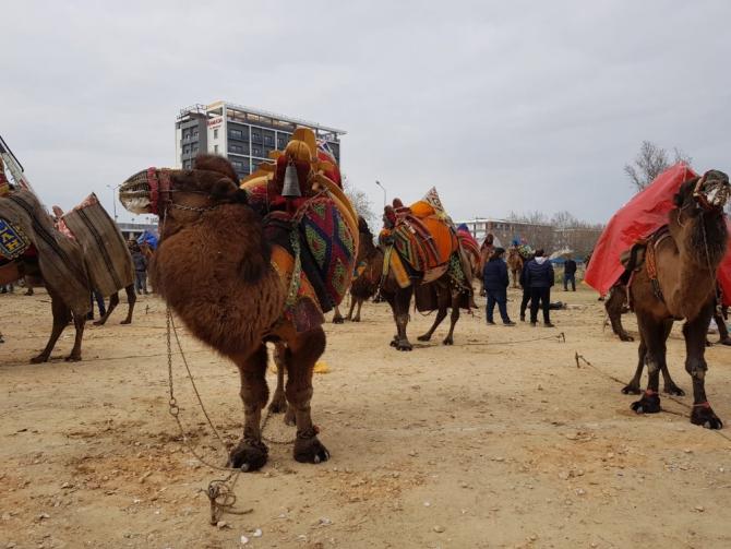 Tire'de şampiyon develer depremzedeler için güreşti