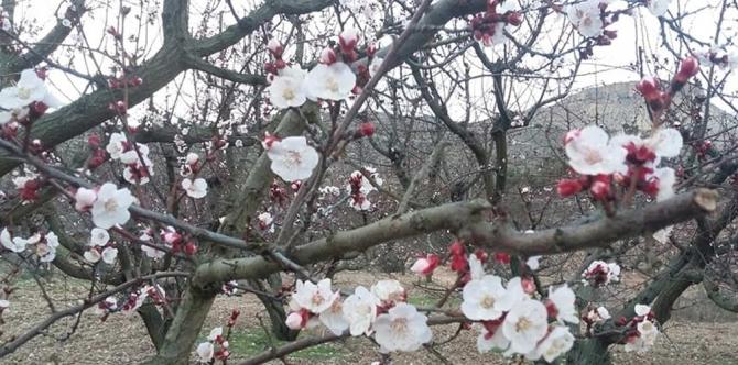 Mersin'de kayısı ağaçları çiçek açtı