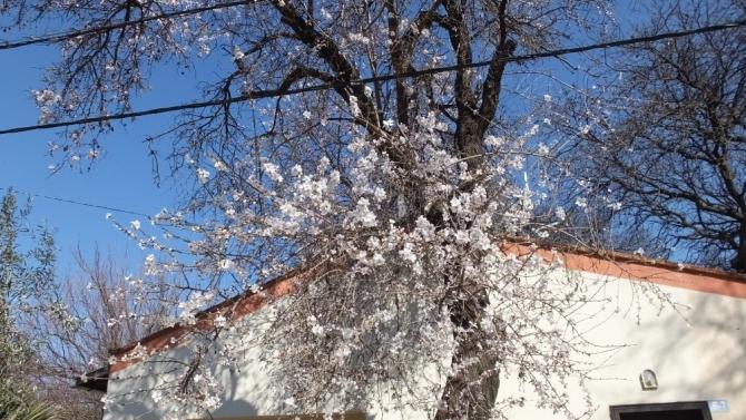 Badem ağaçları çiçek açtı