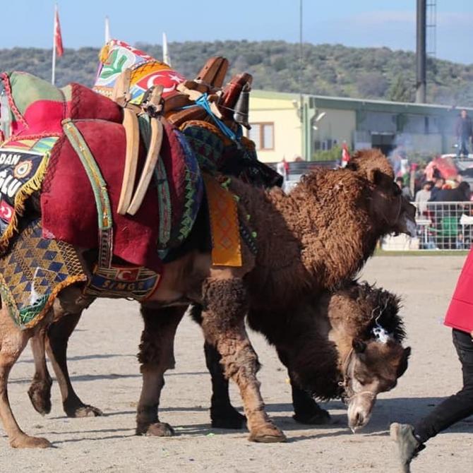 Bozdoğan'da develer güreşti