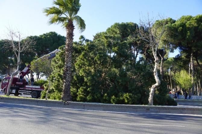 Karayoluna dev çam ağacı devrildi, facia ucuz atlatıldı