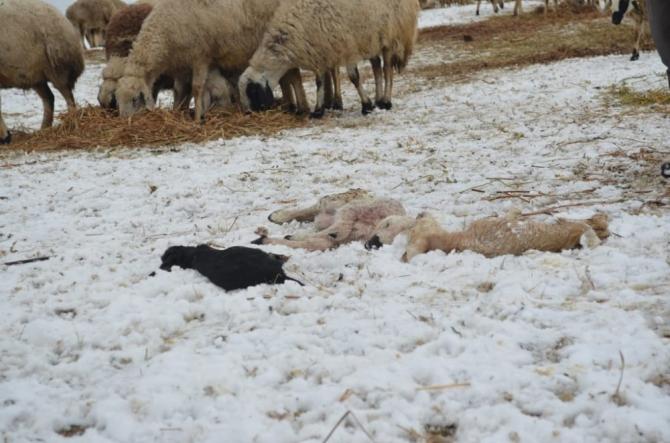 Çobanların soğuk havada 'Kuzu' nöbeti