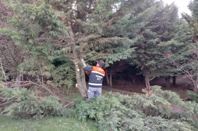Ağaçların budama çalışması sürüyor