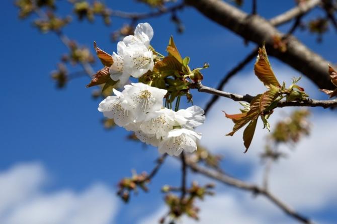 Yusufeli yeni yerleşim yerinde çiçekler açtı, ağaçlar meyve verdi
