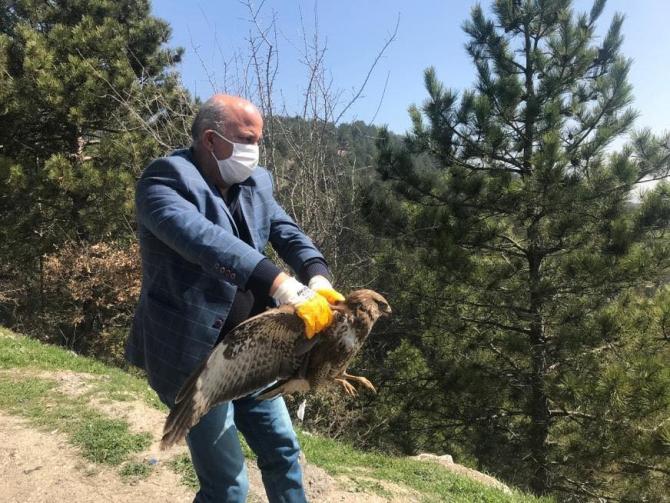 Bolu'da, tedavisi tamamlanan kızıl şahin doğaya salındı
