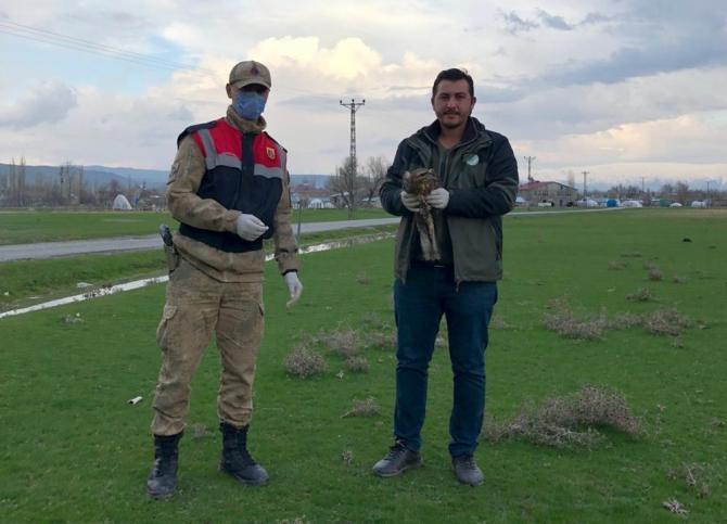 Jandarmanın yaralı halde bulduğu kızıl şahin koruma altına alındı