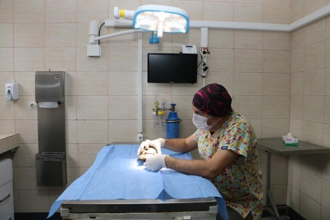 Kabuğu kırılan kaplumbağaya tıbbi müdahale