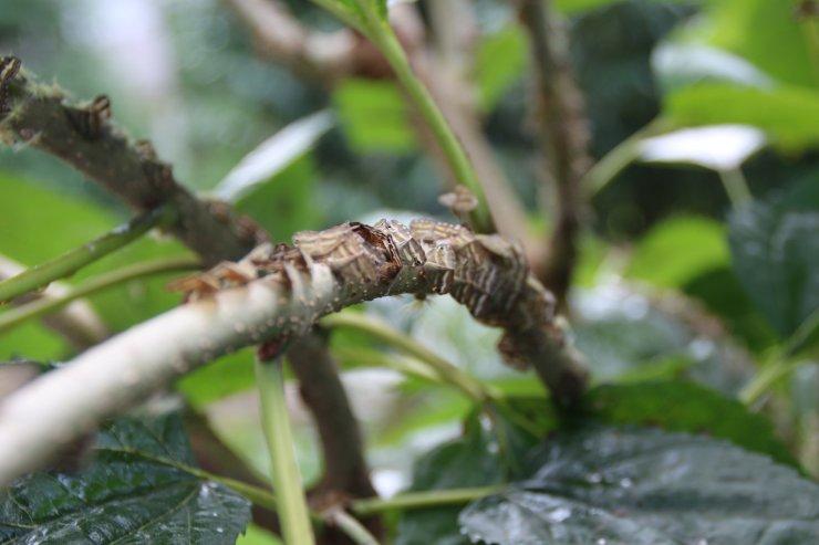 Karadeniz'de zararlı kelebek tehlikesi