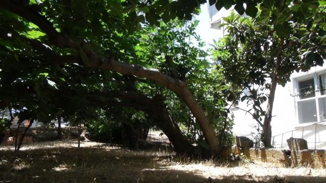 Komşuluk hakkına girmesin diye 45 yıllık ağaçların yönünü değiştirdi