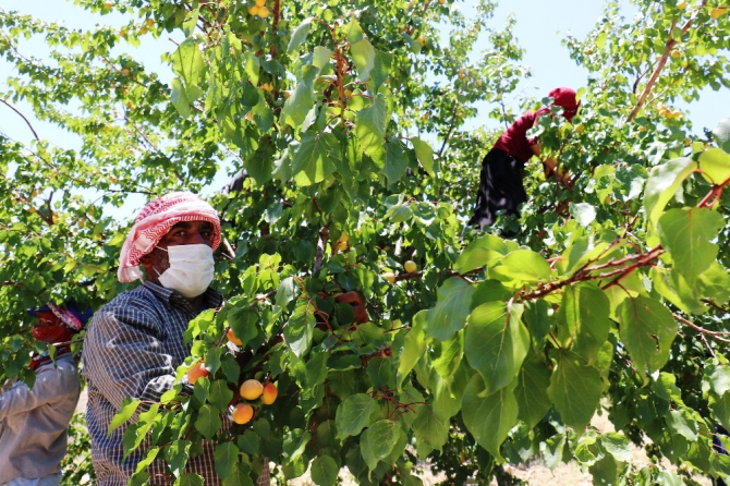 Malatya'nın 'Sarı altınında' hasat mevsimi