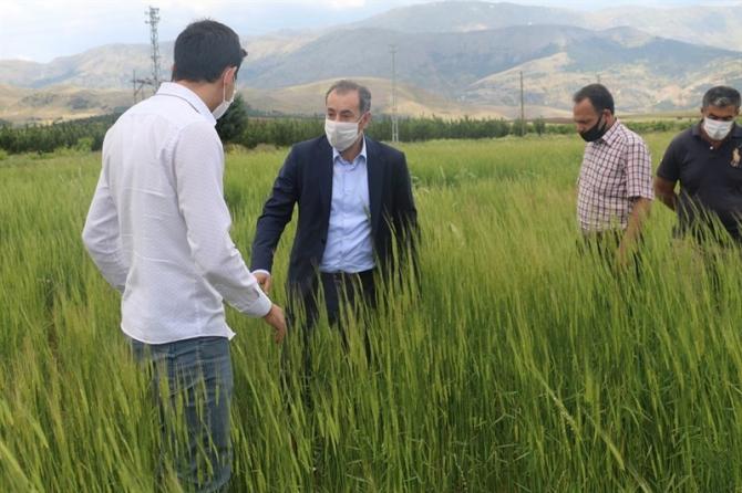 On bin yıllık siyez buğdayı, Ekinözü'nde ilk kez ekildi