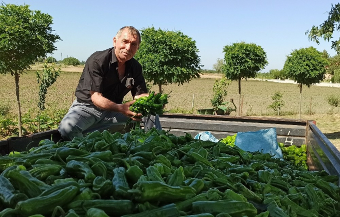 Bafra Ovası'nda yazlık ürün sezonu açıldı