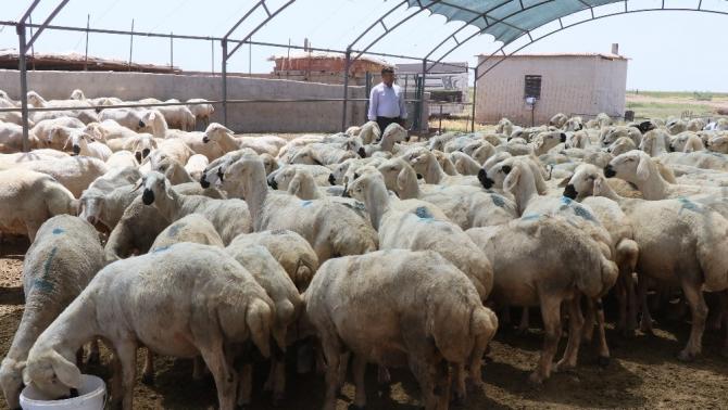 Aksaray'da hayvan aşılaması verimliliği artırdı