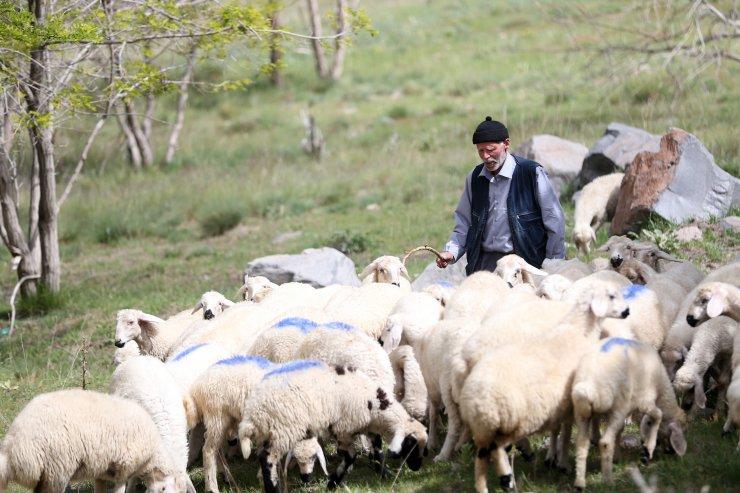 Koyun ve kuzuların ardında geçen bir ömür