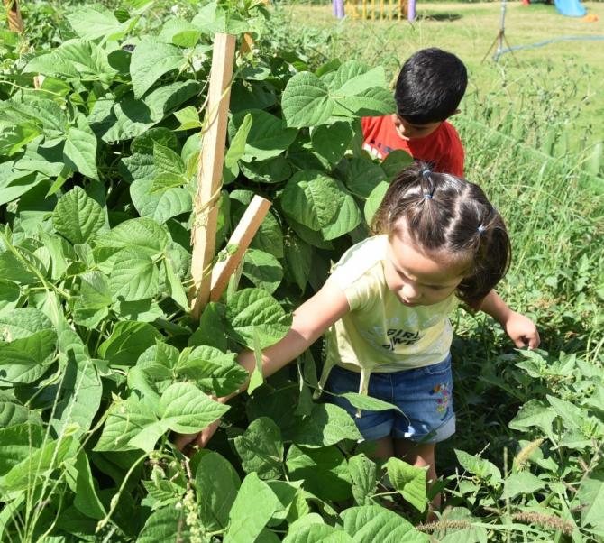 Kreş bahçesinde fasulye yetiştirdiler, toplayıp afiyetle yediler