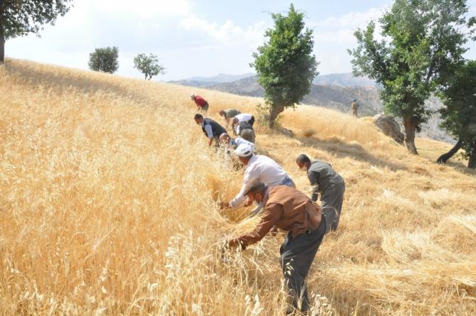 Şırnak'ta 'dengbej' eşliğinde buğday hasadı başladı