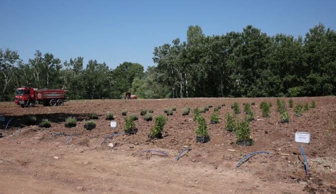 ESOGÜ Tıbbi ve Aromatik Bitkiler Bahçesi'nde tıbbi aromatik bitki dikimi