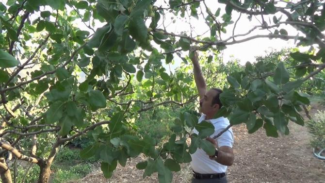 Siirt'te 15 yıl aradan sonra fıstık fiyatlarında düşüş yaşandı