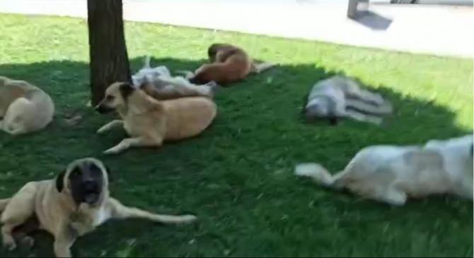 Köpek sürüsünü görüntülemek isterken hayatının şokunu yaşadı