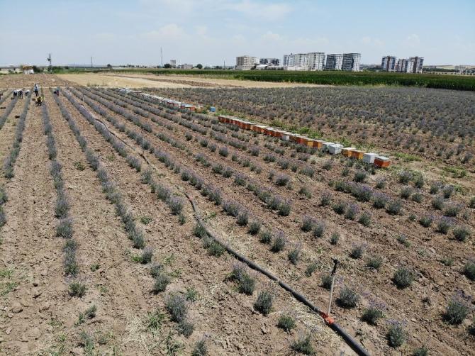 Diyarbakır'ın kokusu lavanta bahçesiyle değişti