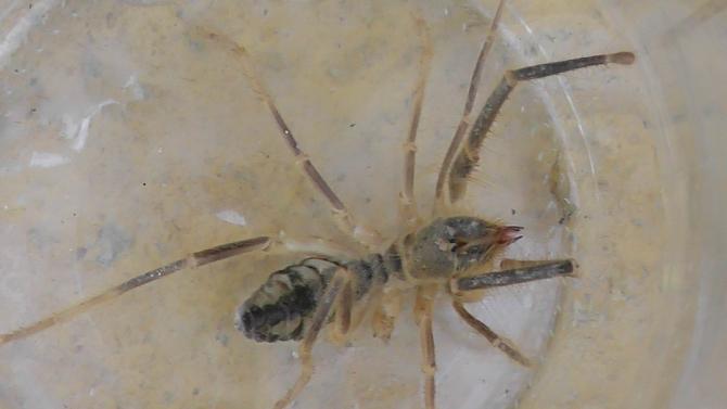 """Konya'da etobur örümcek """"Sarıkız"""" bulundu"""