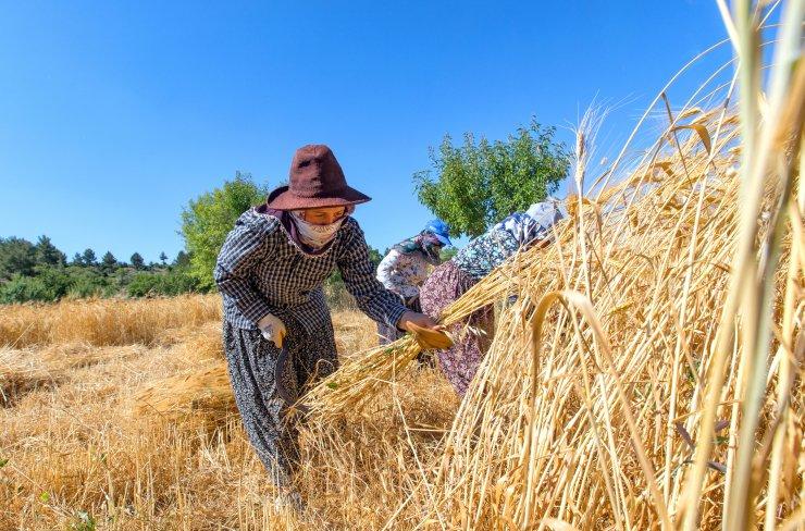Atadan toruna, sarı buğday hasadı