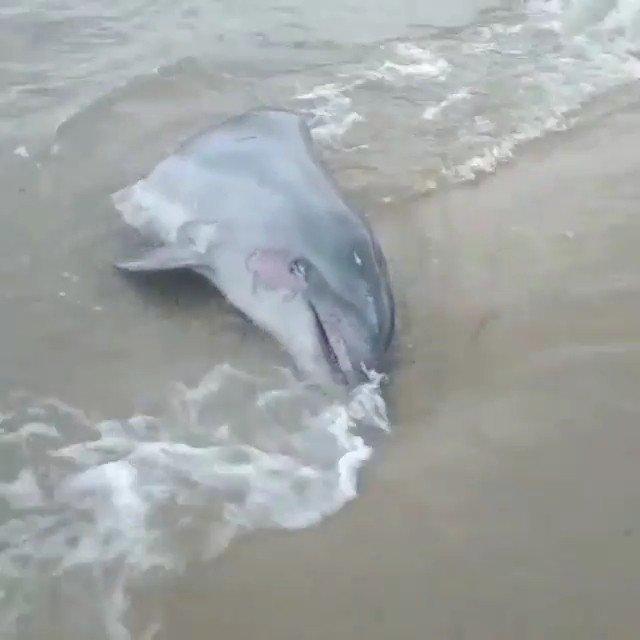Edirne'de hayvanseverleri ayağa kaldıran olay! Gövdesi kesilmiş yunus başı sahile vurdu