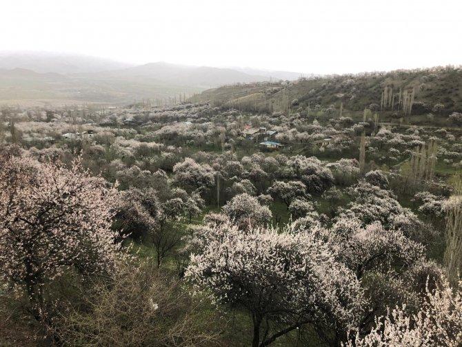 Kağızman gelin gibi süslendi! Meşhur kayısı ağaçları çiçek açtı